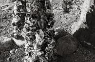 Manzanar 41
