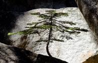 Lone Fir, Yosemite 2008